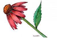 Echinacea007_3x2