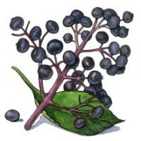 elderberry_web