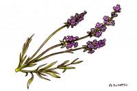 Lavender_3x2