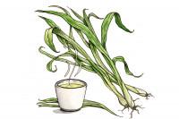 Lemongrass_3x2