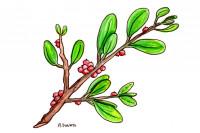 Mistletoe001_3x2