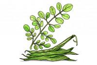 Moringa-Oleifera_3x2