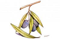 Olive-Leaf064_3x2