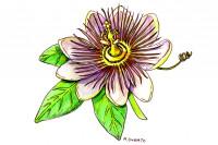 Passion-Flower007_3x2