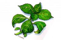 Salvia-divinorum009_3x2