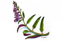 Scutellaria-barbata007_3x2