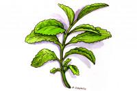 Stevia005_3x2